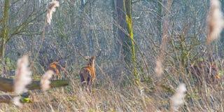 Herde von Rotwild in einem Naturpark im Wintersonnenlicht Stockfotografie