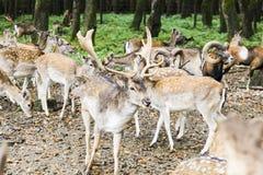 Herde von Rotwild im Wald Stockfotografie