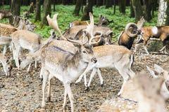 Herde von Rotwild im Wald Lizenzfreie Stockbilder