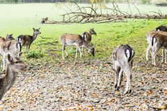 Herde von Rotwild im Wald Stockfotos