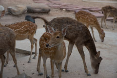 Herde von Rotwild im Zoo Stockbild