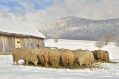 Herde von Schafe skudde die Heuwiese essend bedeckt mit Schnee Lizenzfreies Stockfoto