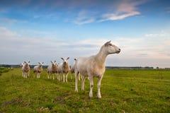 Herde von Schafen über blauem Himmel Stockfotos