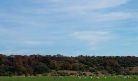 Herde von Schafen Stockbilder