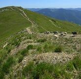 Herde von Schafen Stockfotos