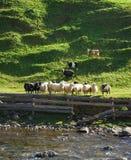 Herde von Schafen Stockbild