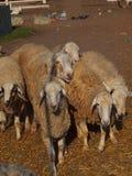 Herde von Schafen Lizenzfreie Stockfotos