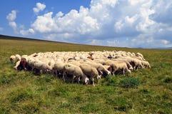 Herde von Schafen Lizenzfreie Stockfotografie