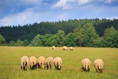 Herde von Schafen Stockfotografie
