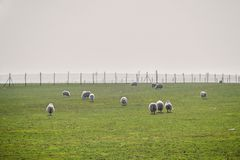 Herde von Schafen auf den grünen nebeligen Wiesen Weiße Schafe auf der Weide mit großem Zaun auf Hintergrund Lizenzfreies Stockfoto