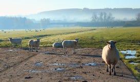 Herde von Schafen auf einem nebelhaften Morgen Lizenzfreie Stockbilder