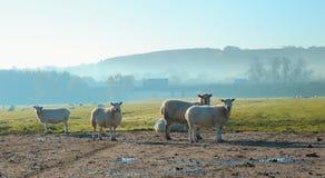 Herde von Schafen auf einem nebelhaften Morgen Lizenzfreies Stockfoto