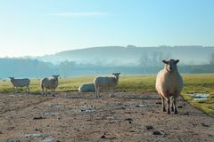 Herde von Schafen auf einem nebelhaften Morgen Lizenzfreie Stockfotografie