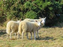 Herde von Schafen auf einer Weide stockbild