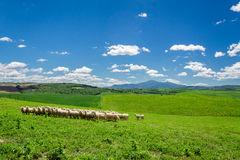 Herde von Schafen auf Toskana-Feld Stockfotos