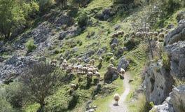 Herde von Schafen in den Bergen von Andalusien Lizenzfreie Stockbilder
