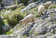 Herde von Schafen in den Bergen von Andalusien Lizenzfreie Stockfotografie