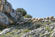 Herde von Schafen in den Bergen von Andalusien Lizenzfreies Stockfoto
