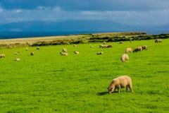 Herde von Schafen an der Küste von Irland Lizenzfreie Stockbilder