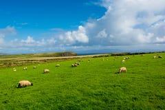 Herde von Schafen an der Küste von Irland Lizenzfreies Stockfoto