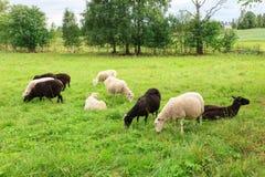 Herde von Schafen in der Wiese stockbild