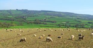 Herde von Schafen lassen auf dem Ackerland im Axt-Tal weiden Lizenzfreie Stockbilder