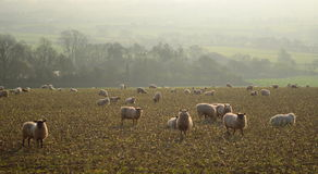 Herde von Schafen lassen auf dem Ackerland im Axt-Tal weiden Stockfotos