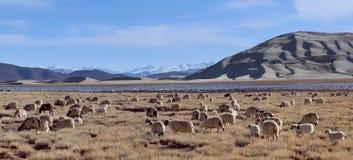 Herde von Schafen in Tibet, China Stockfoto