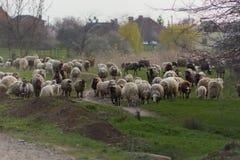 Herde von Schafen und RAMs fahren Landstraße fort, für das Essen des Grases auf Wiese zu weiden stockfoto