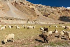 Herde von Schafen und von Ziegen Pashmina im Himalaja. Himachal Pradesh, Stockfoto