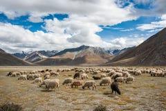 Herde von Schafen vor dem hintergrund Zanskar-Gebirgszugs Stockfotos