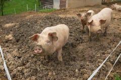 Herde von Schweinen am Schweinezuchtbauernhof Stockbilder