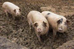 Herde von Schweinen am Schweinezuchtbauernhof Stockfotos