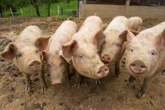 Herde von Schweinen am Schweinezuchtbauernhof Lizenzfreies Stockfoto
