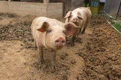 Herde von Schweinen am Schweinezuchtbauernhof Lizenzfreies Stockbild