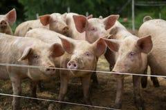 Herde von Schweinen am Schweinezuchtbauernhof stockfoto