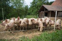 Herde von Schweinen am Schweinezuchtbauernhof Lizenzfreie Stockbilder