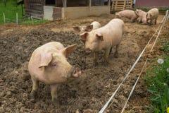Herde von Schweinen am Schweinezuchtbauernhof Lizenzfreie Stockfotos