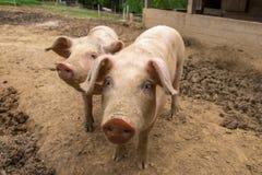 Herde von Schweinen am Schweinezuchtbauernhof Stockbild