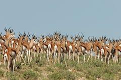 Herde von Springbock antilopes Lizenzfreies Stockfoto
