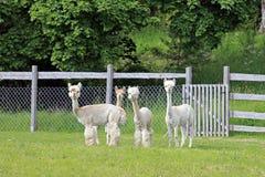 Herde von vier weißen Alpakas Stockbild