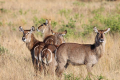 Herde von Waterbuck Stockfotos