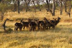Herde von Waterbuck Lizenzfreie Stockfotos