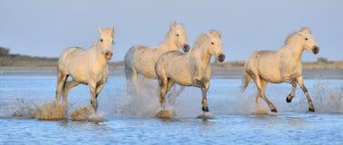 Herde von weißen Camargue-Pferden, die auf dem Wasser laufen Stockfotografie