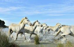 Herde von weißen Camargue-Pferden, die auf dem Wasser laufen Lizenzfreie Stockfotografie