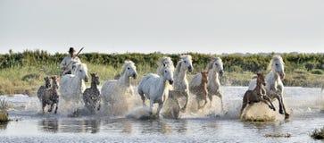 Herde von weißen Camargue-Pferden, die durch Wasser galoppieren, überflutet lizenzfreie stockfotos