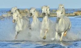 Herde von weißen Camargue-Pferden, die durch Wasser laufen Lizenzfreie Stockfotos
