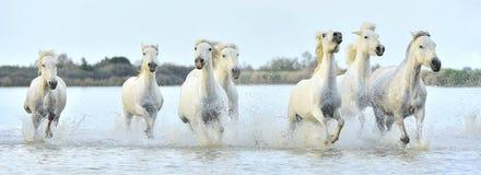 Herde von weißen Camargue-Pferden, die durch Wasser laufen Stockfotografie