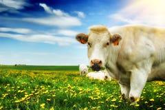 Herde von weißen Kühen am grünen Feld Stockbilder