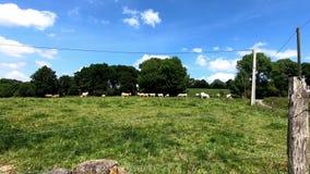 Herde von weißen Kühen im Gras stock video